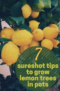 7 tips to successfully grow lemon tree in a pot
