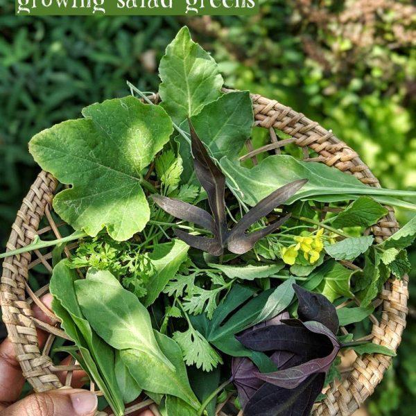 growing-salad-greens