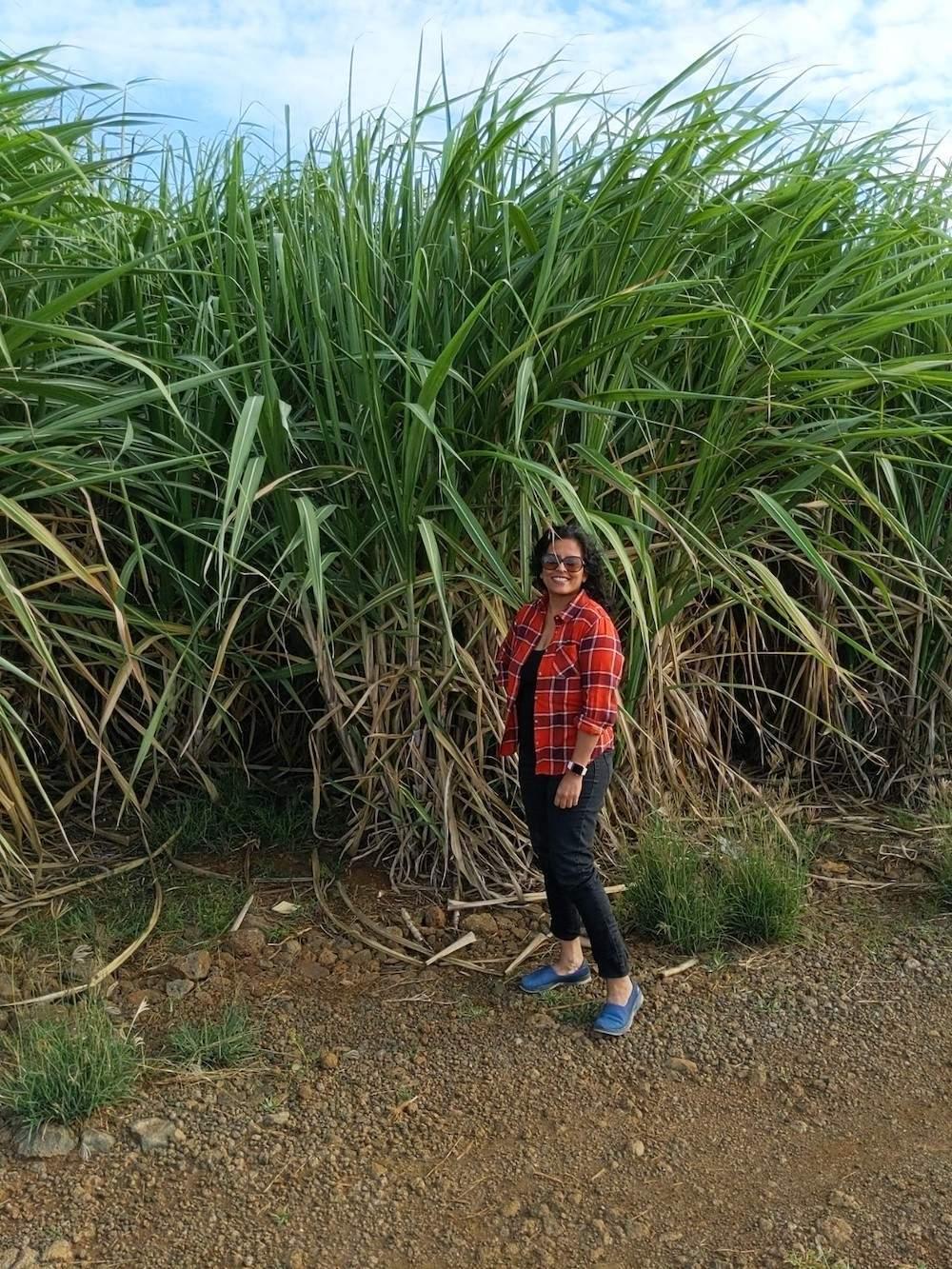 sugarcane mauritius